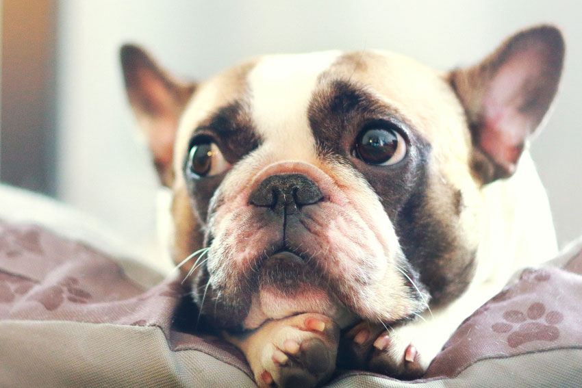 French Bulldog pros and cons 1