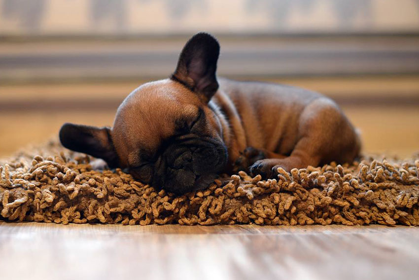French Bulldog puppy socialization 1