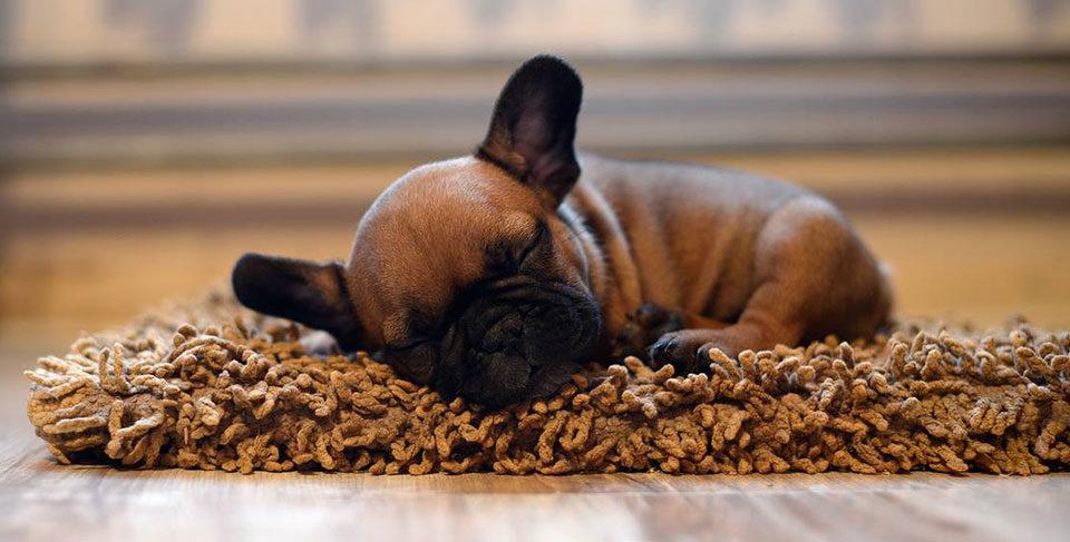 French Bulldog puppy socialization