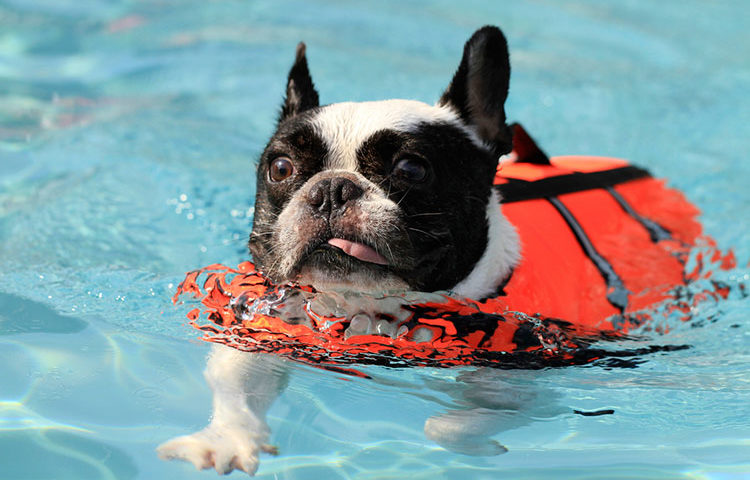 French Bulldogs and swimming