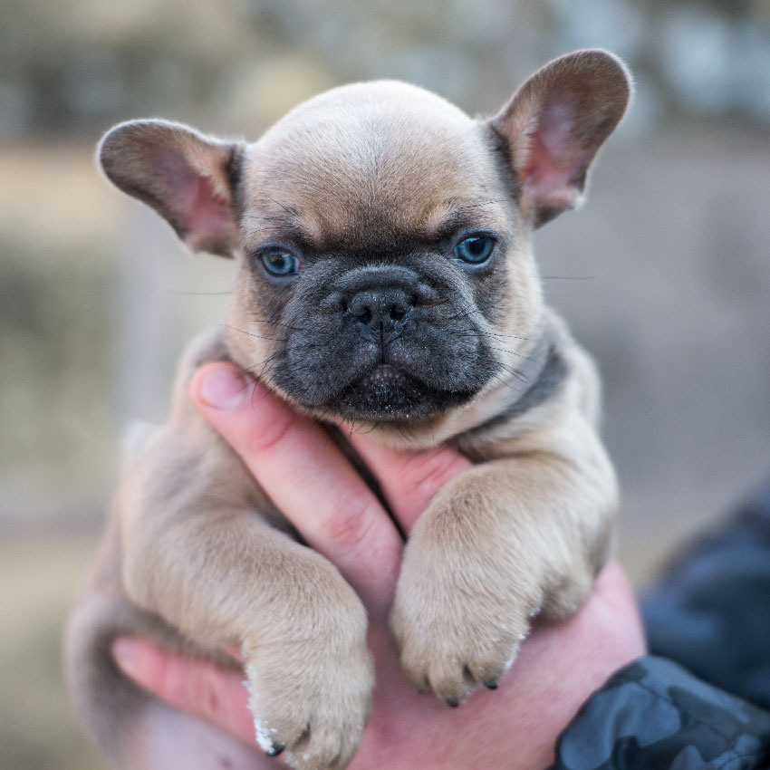 french bulldog health and care