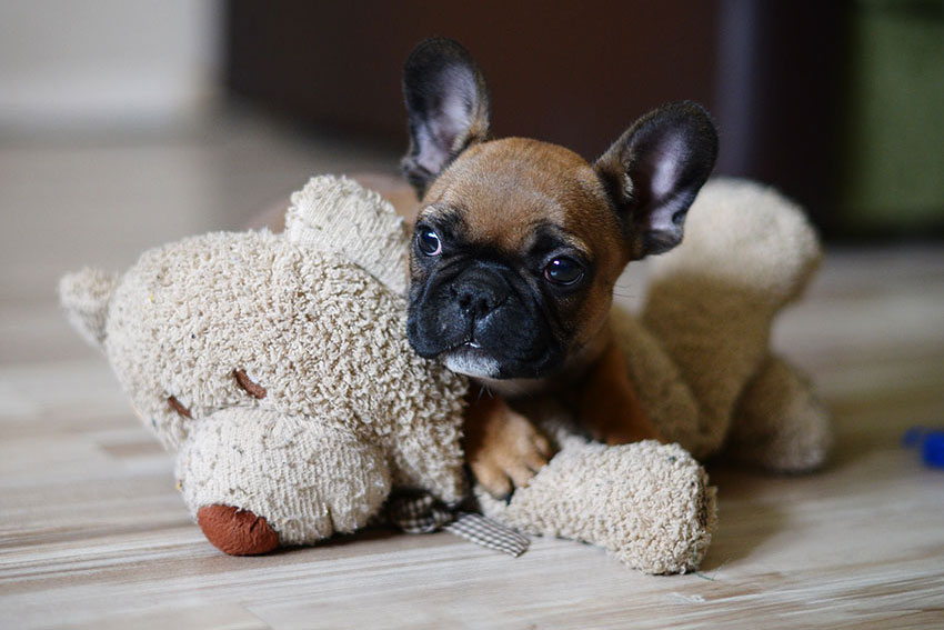 How to potty train your French Bulldog 1
