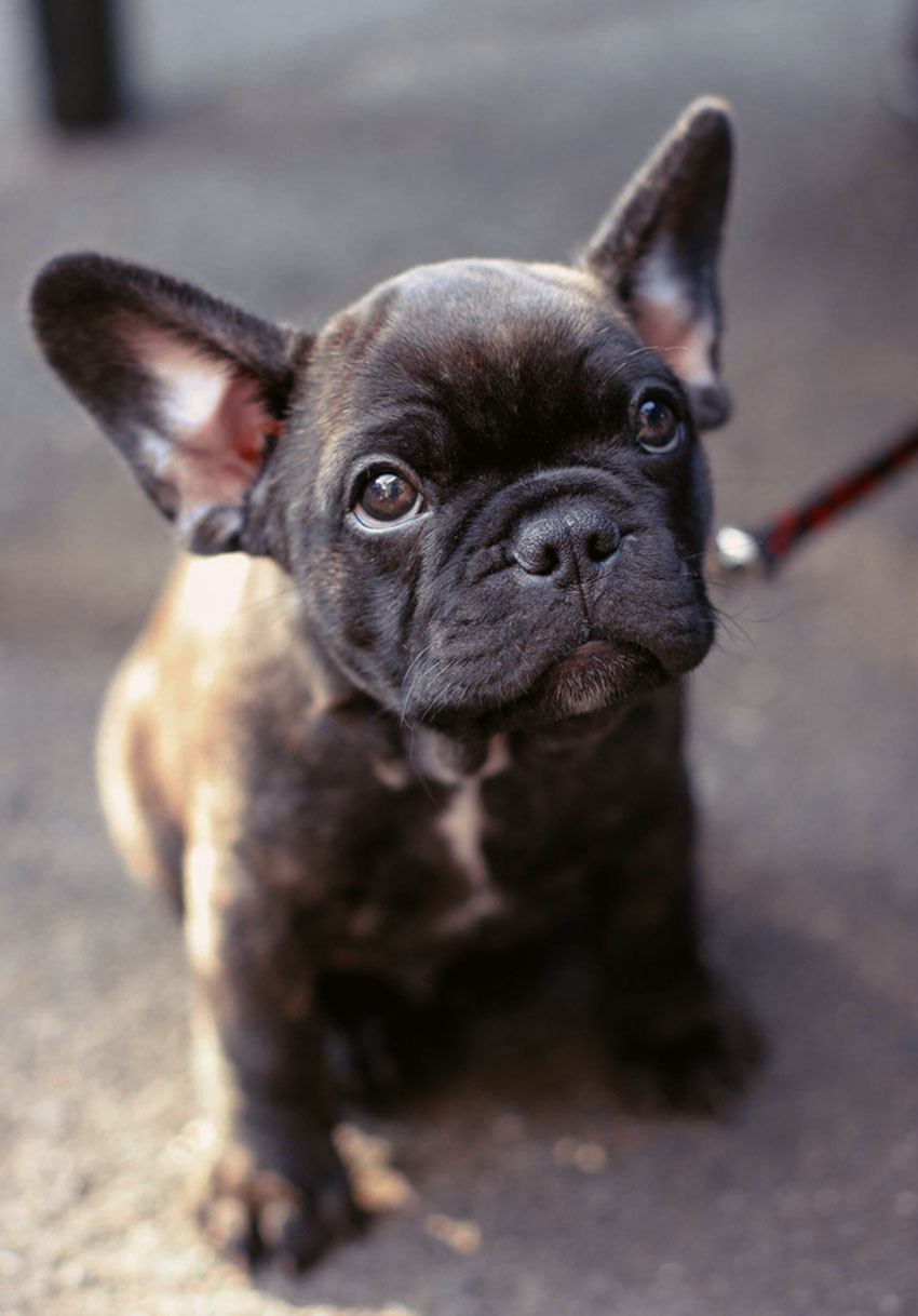 How to potty train your French Bulldog 2