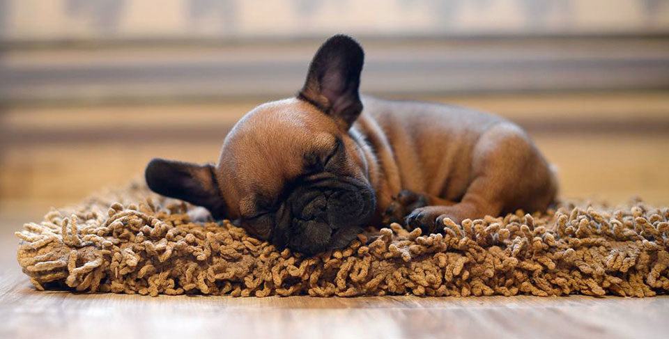 How to potty train your French Bulldog