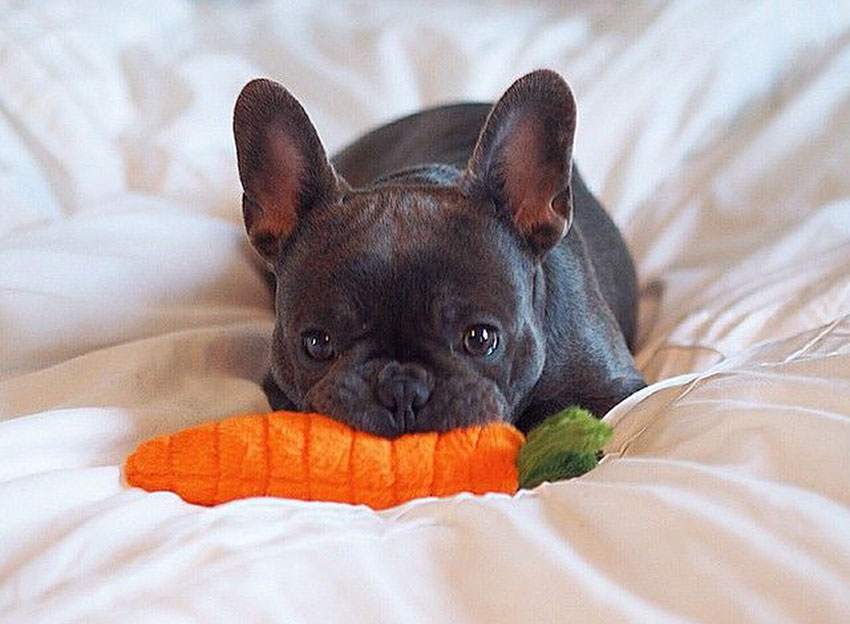 How to tell you are a French Bulldog owner 1