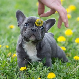 Blue French Bulldog - The Ultimate Guide - French Bulldog Breed