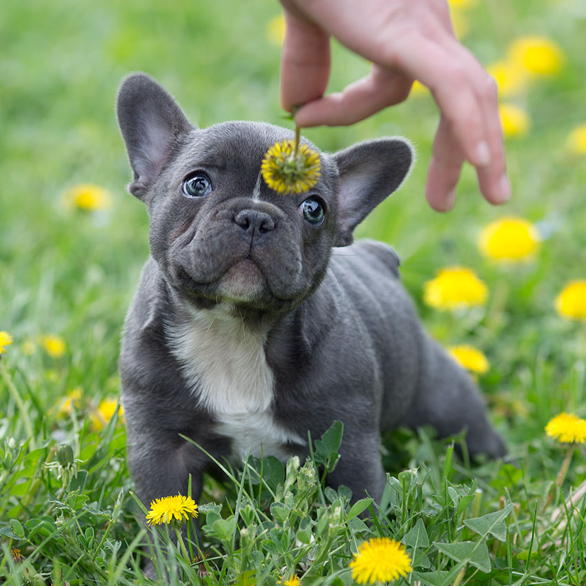 what smells do french bulldogs hate the most
