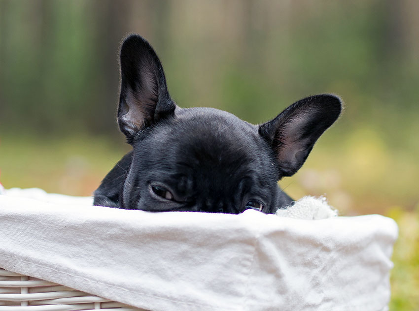 Separation anxiety in french bulldog 2