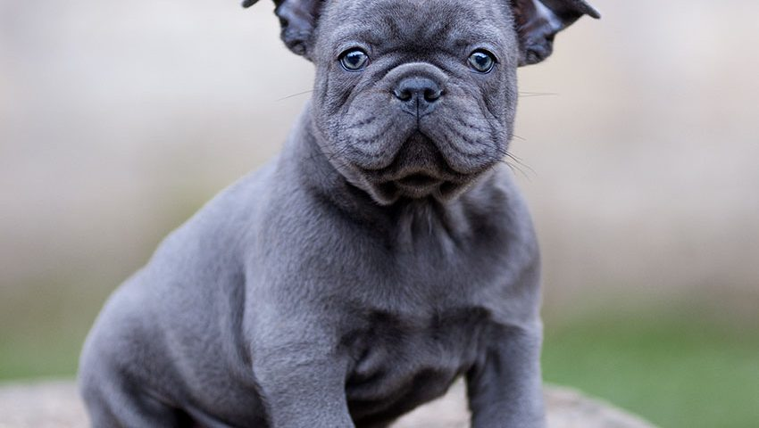 Blue French Bulldog The Ultimate