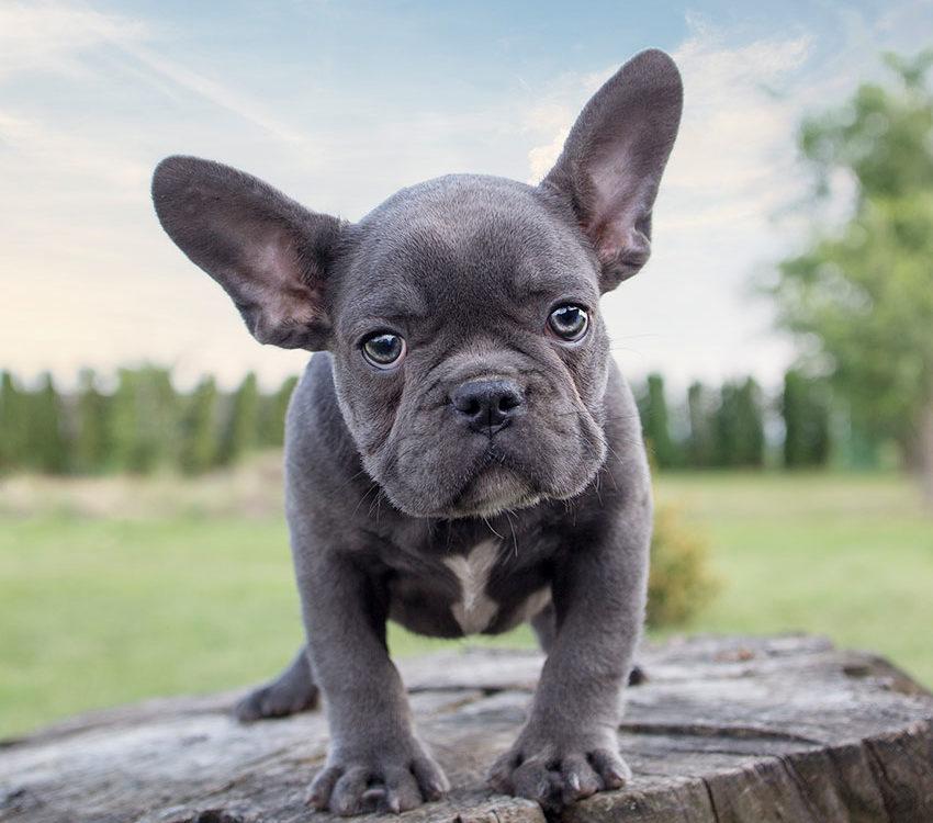 French Bulldog Breed