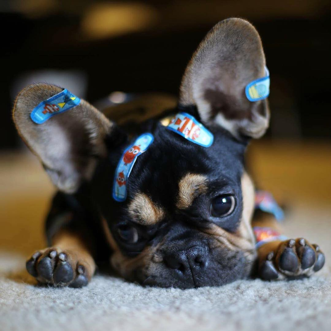 Top 5 French Bulldog instagram profiles 2