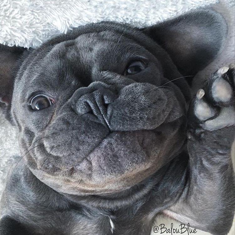 Top 5 French Bulldog instagram profiles 3