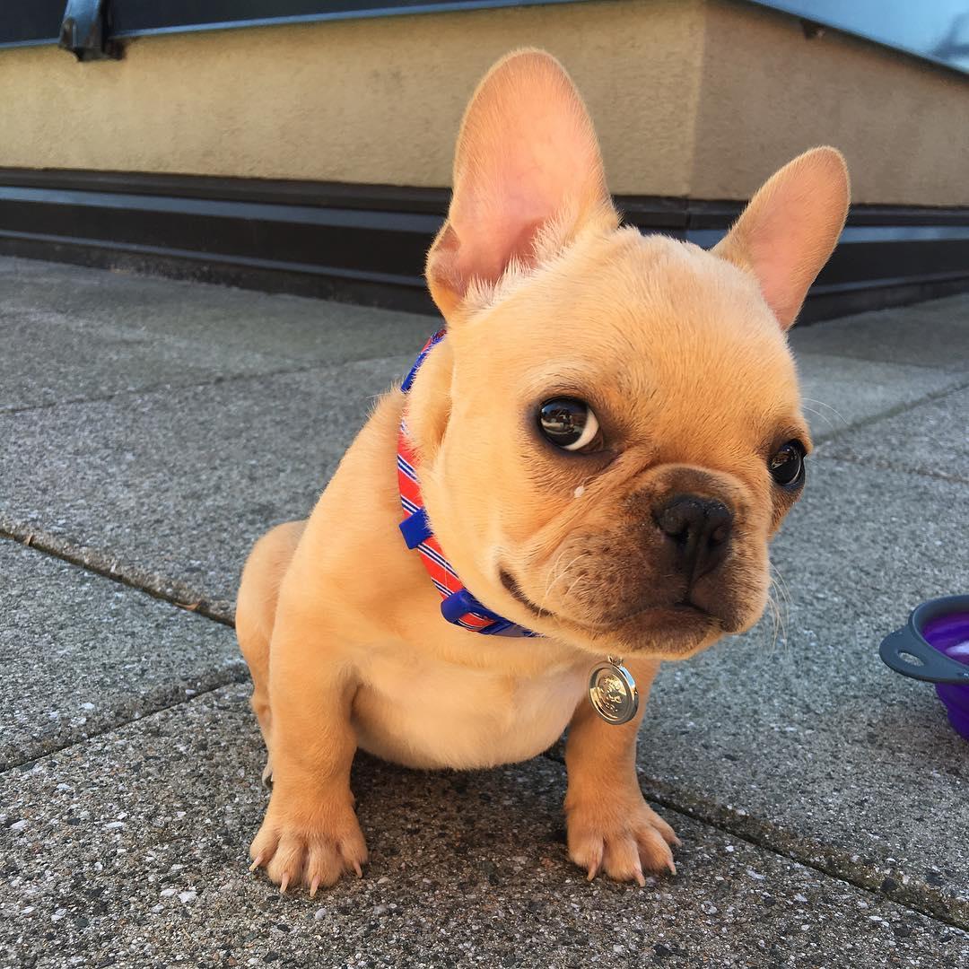 Top 5 French Bulldog instagram profiles 4