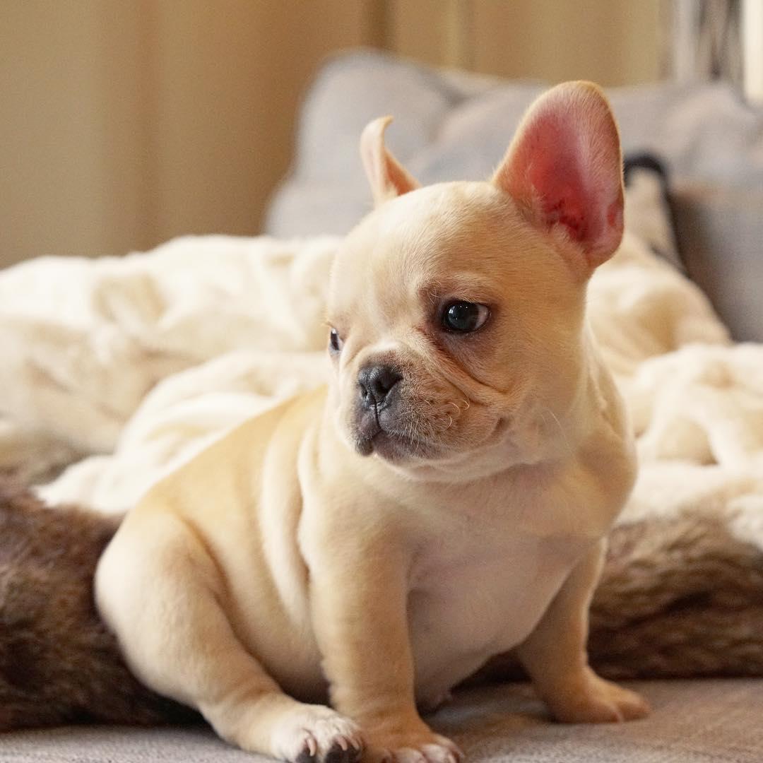 Top 5 French Bulldog instagram profiles 5