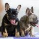 Top 5 French Bulldog instagram profiles