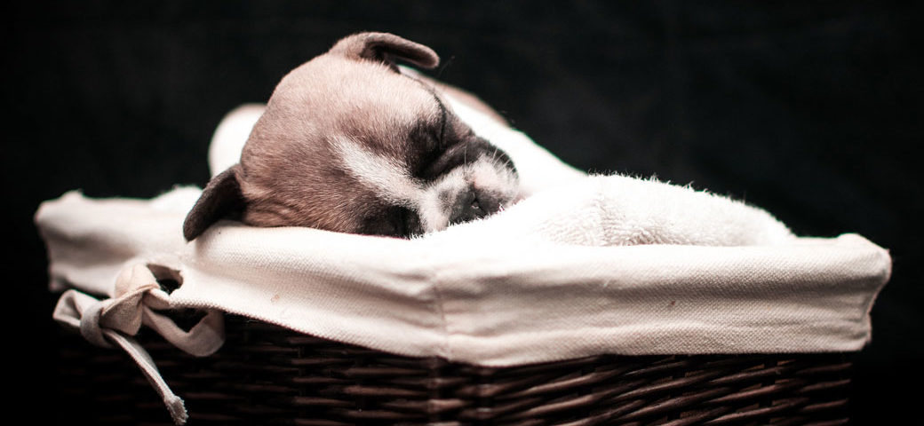 Why French Bulldogs puppies cost that much