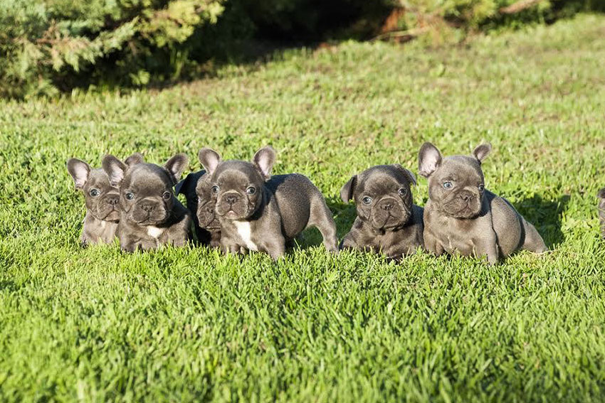 Why your French Bulldog should have a companion 1