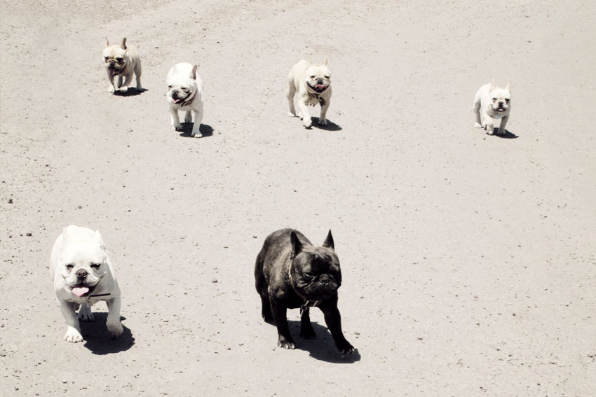 Why your French Bulldog should have a companion 2