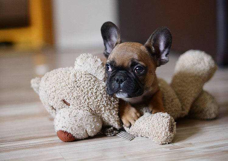 Why your French Bulldog should have a companion 3