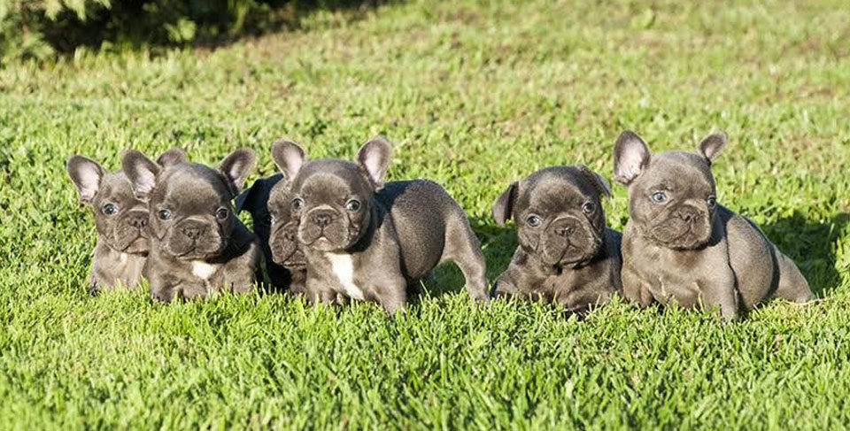 Why your French Bulldog should have a companion