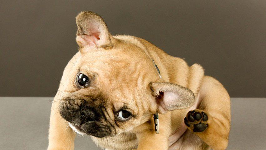 french bulldog allergy