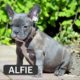 ALFIE - French Bulldog Breed