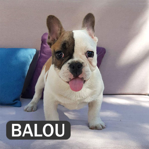 BALOU French Bulldog Breed