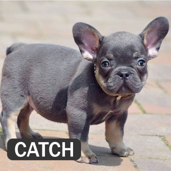 CATCH - French Bulldog Breed