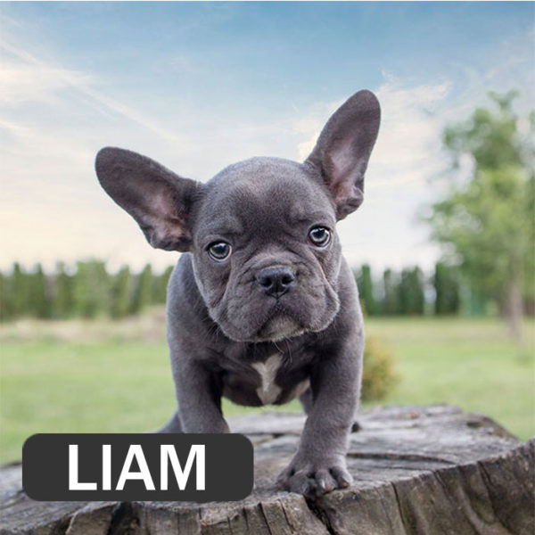 LIAM- French Bulldog Breed
