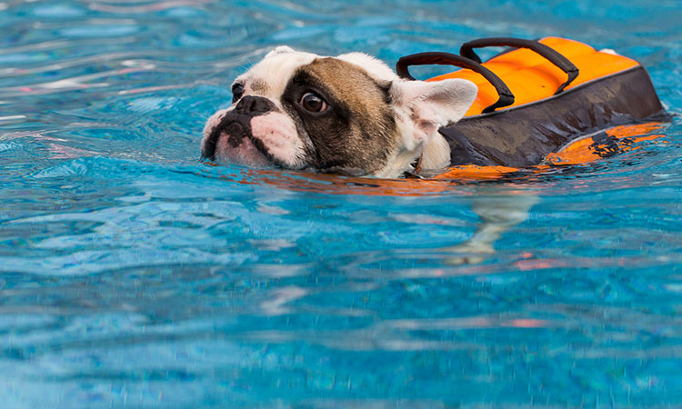French Bulldogs and swimming 1