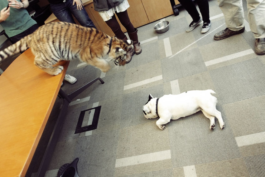 Baby Tiger Playing With A French Bulldog 2