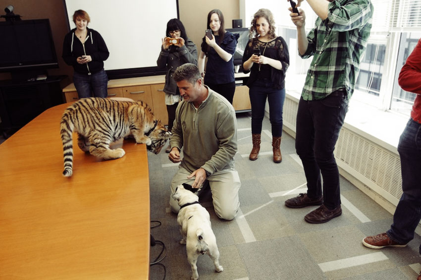 Baby Tiger Playing With A French Bulldog 3