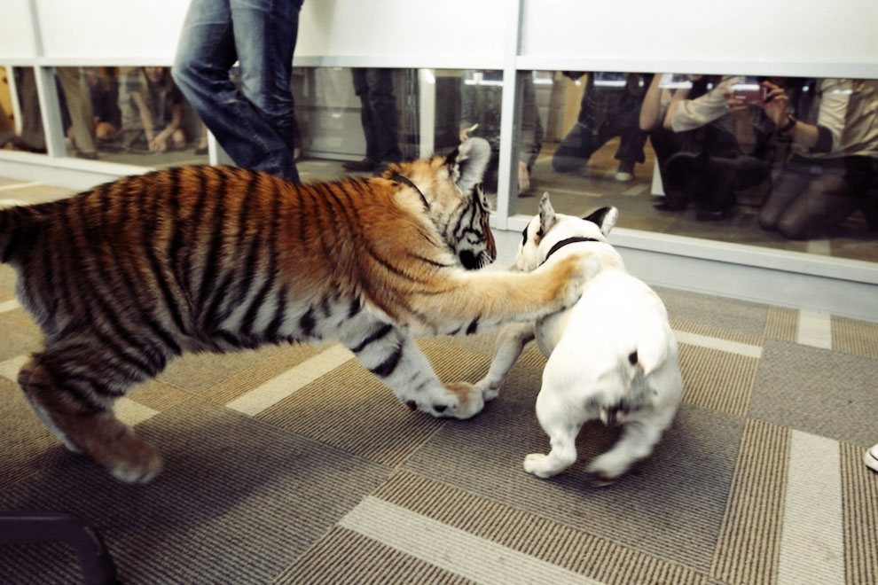 Baby Tiger Playing With A French Bulldog 4