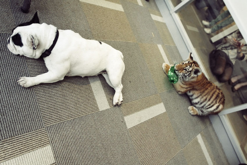 Baby Tiger Playing With A French Bulldog 7
