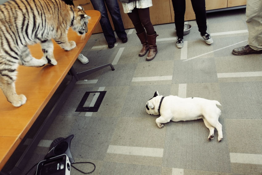 Baby Tiger Playing With A French Bulldog 9