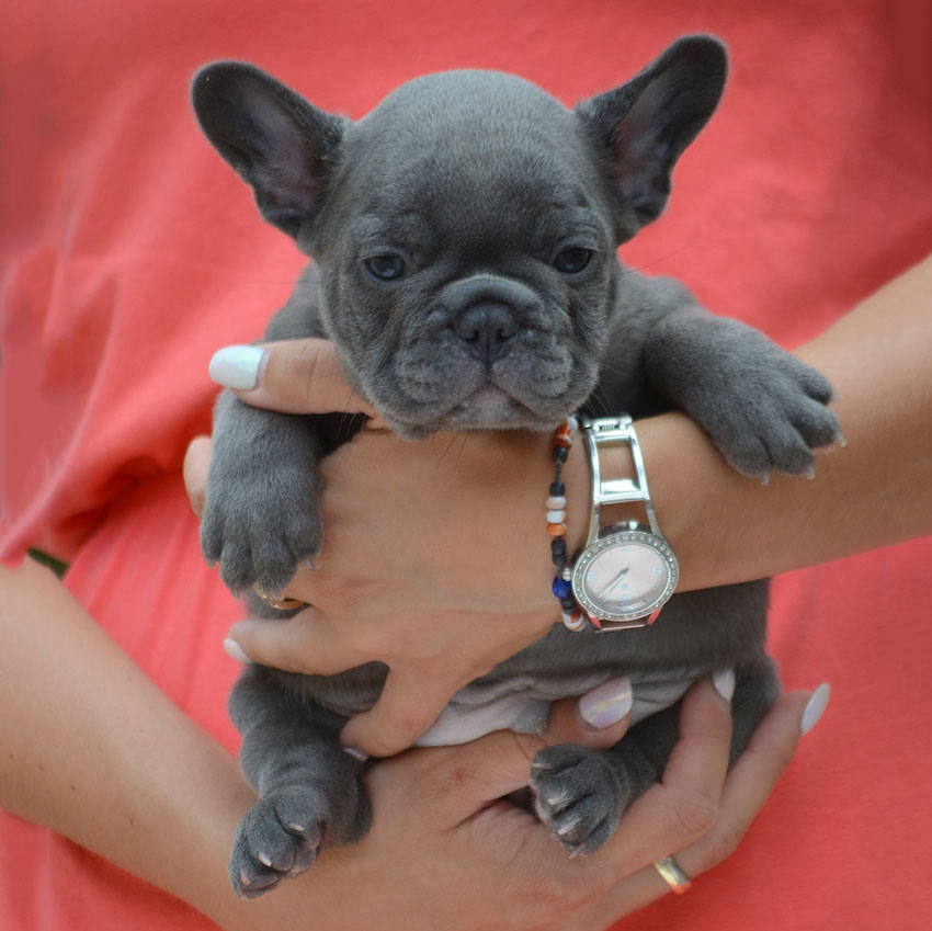 Blue French Bulldog - The Best Care Tips – Frenchie World Shop