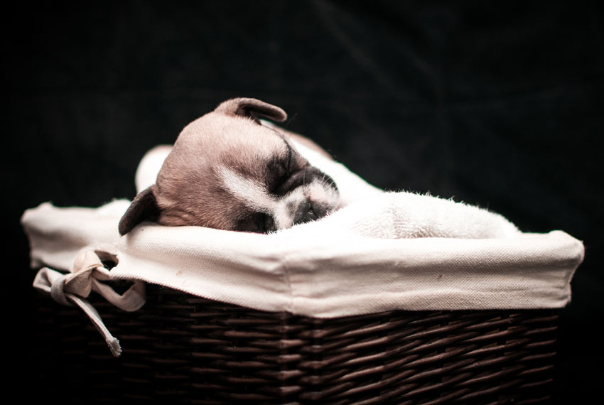 Why French Bulldogs puppies cost that much 1