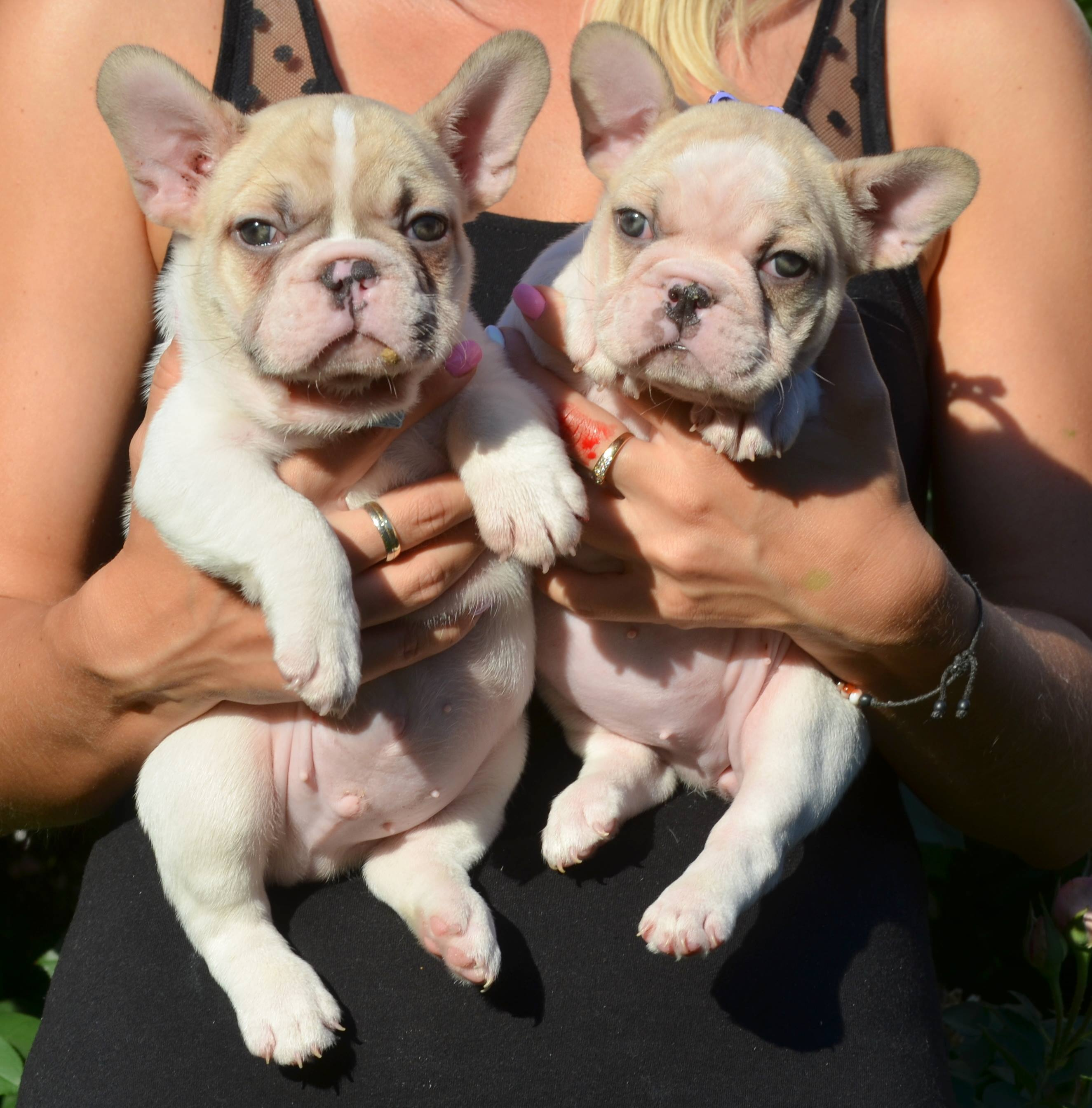 how long do french bulldog puppies live