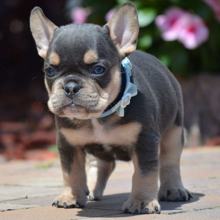 Can French Bulldogs Wear Collars