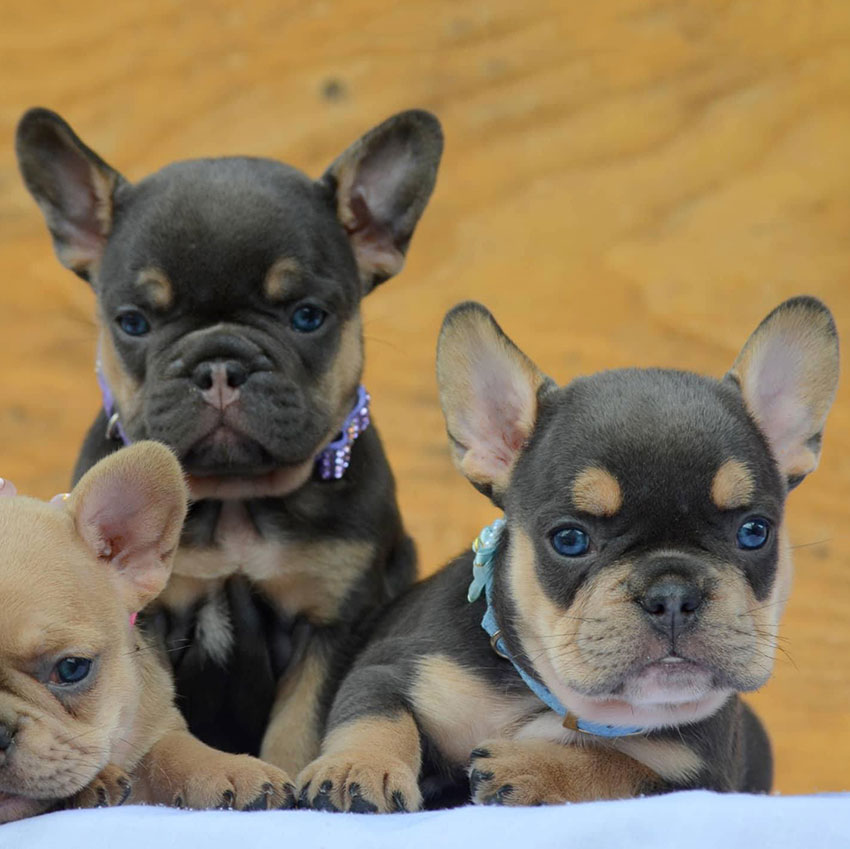 good name for a french bulldog
