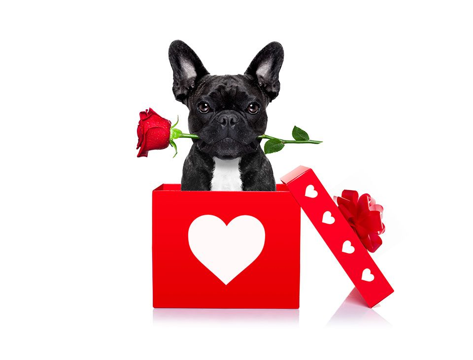 Fun facts about French Bulldog - French Bulldog Breed
