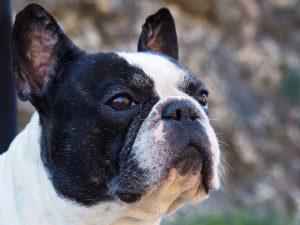 french bulldog vs boston terrier