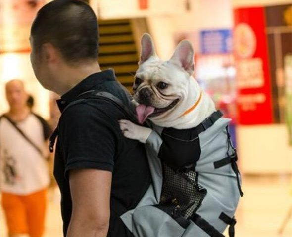 french bulldog backpack carrier