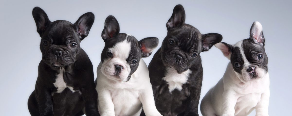 why are frenchies so expensive