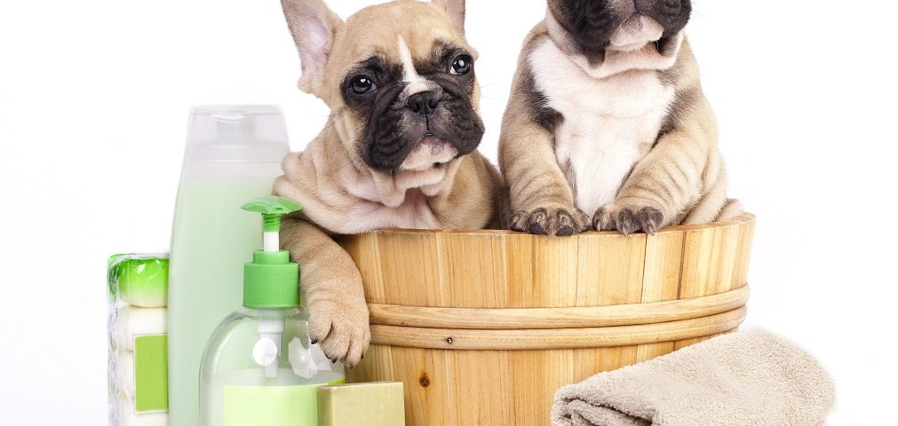 bathe a french bulldog