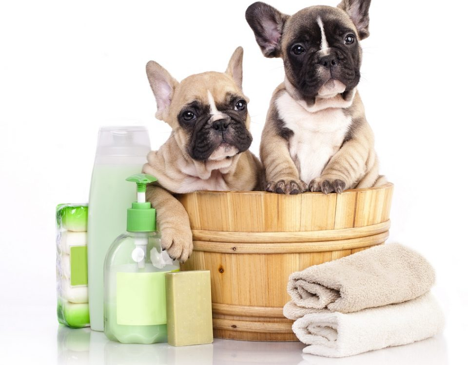bathe a french bulldog