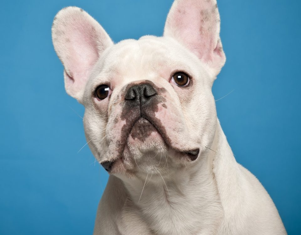dry eye syndrome in french bulldogs