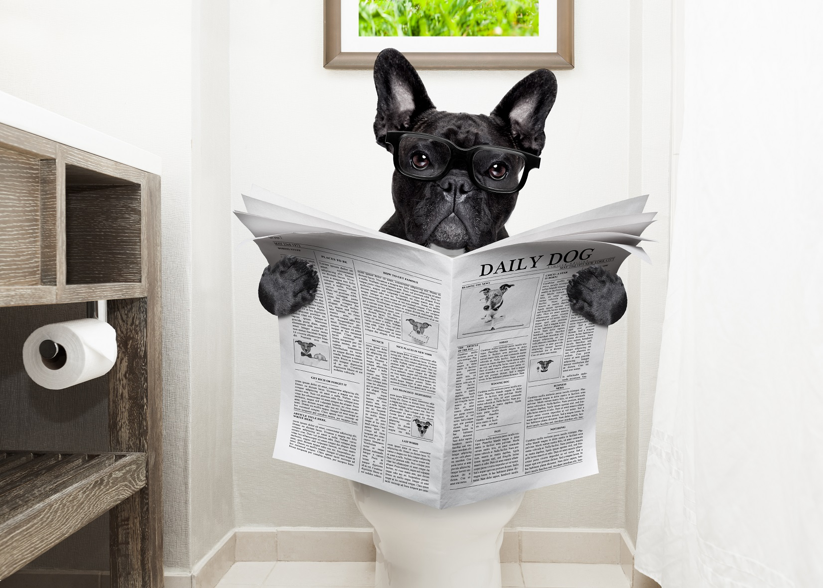 french bulldogs poop