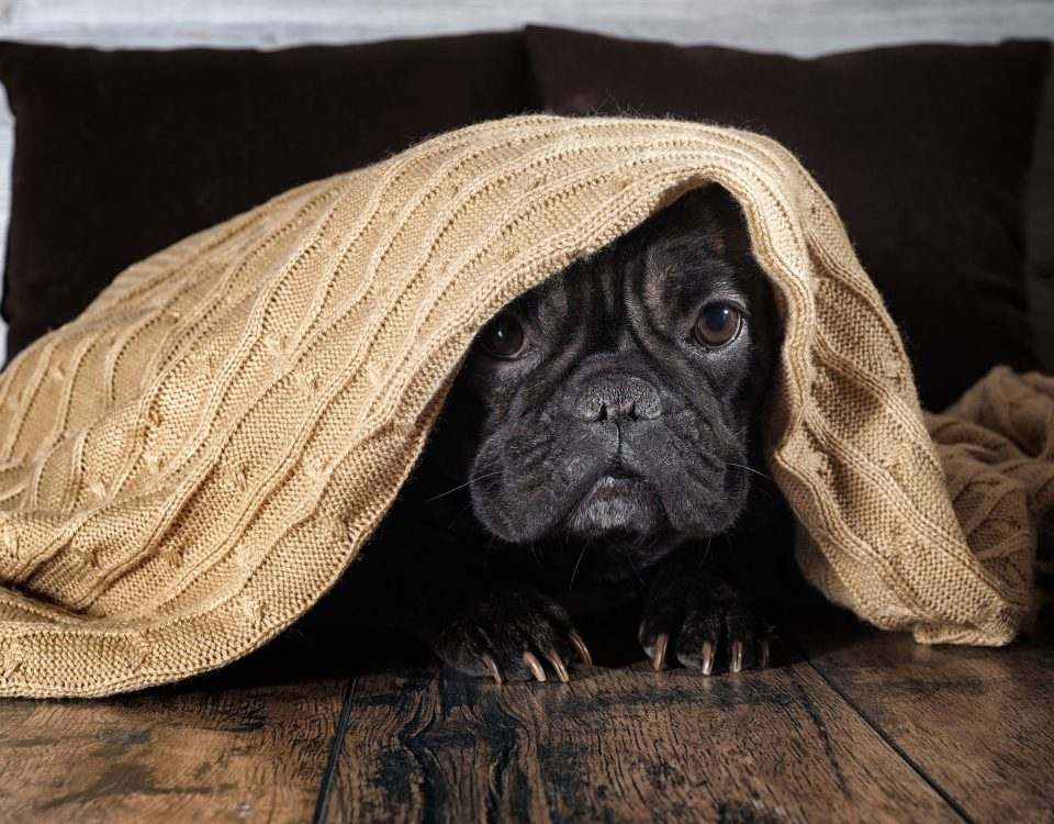 are french bulldogs inside or outside dogs