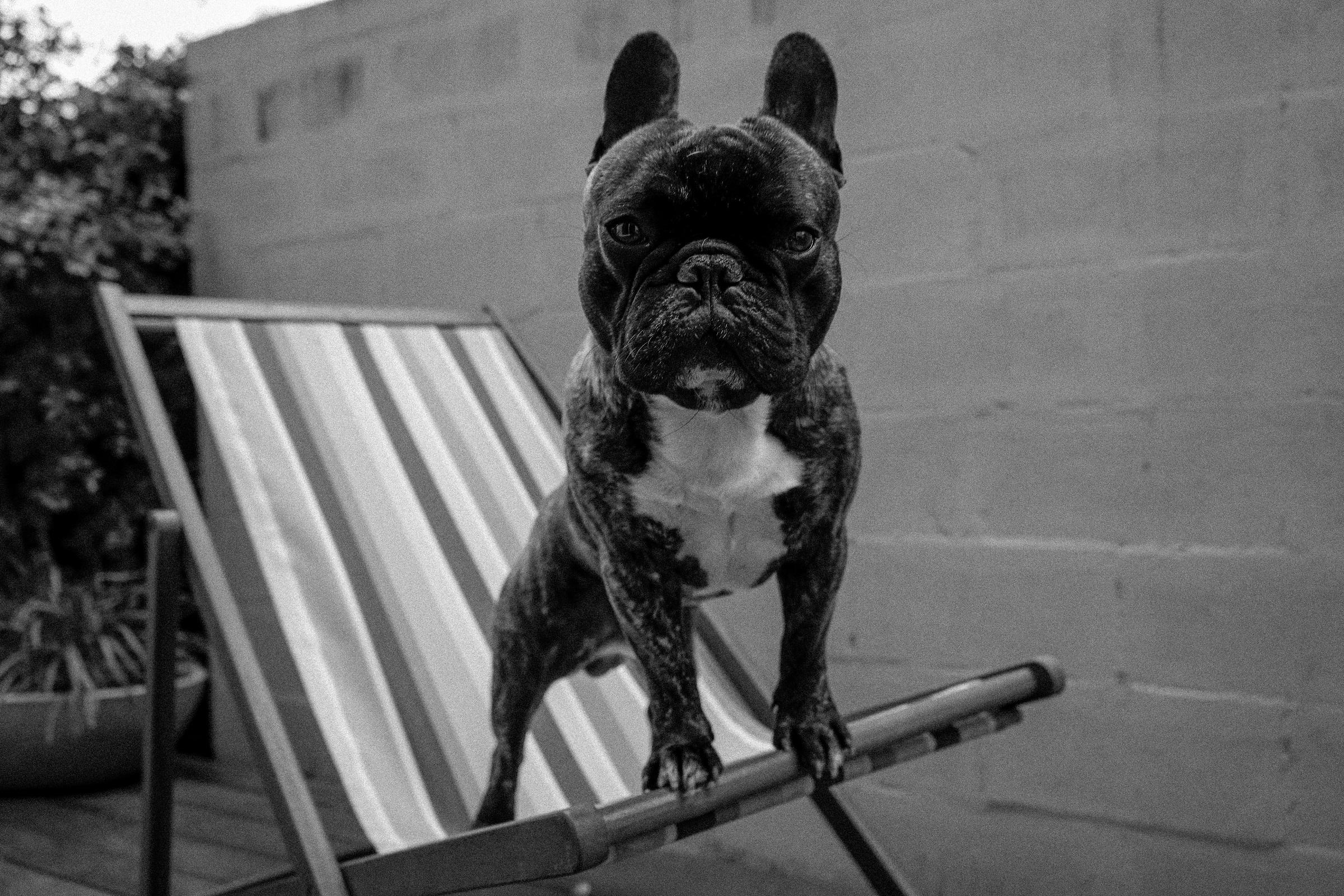 french bulldog wont eat